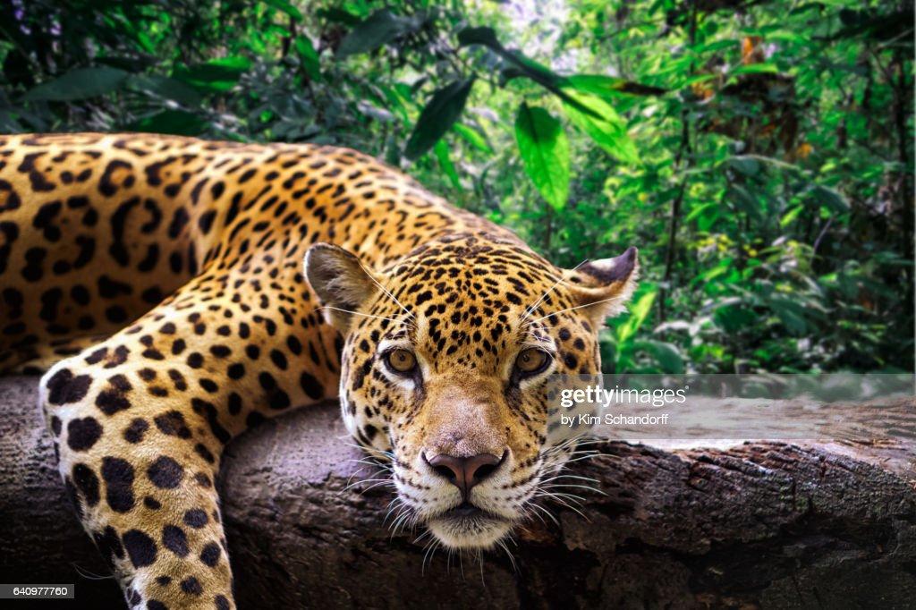 Jaguar resting in the jungle : Stock Photo