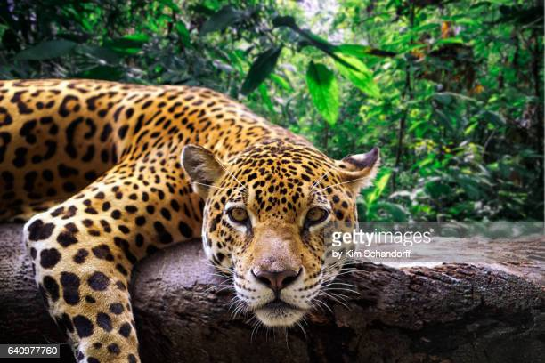 jaguar resting in the jungle - jaguar stock photos and pictures