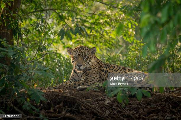 jaguar resting in the pantanal jungle - undomesticated cat stock pictures, royalty-free photos & images