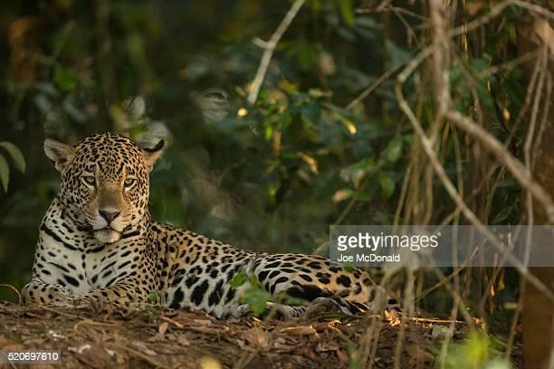 jaguar resting in the shade - onça-pintada - fotografias e filmes do acervo