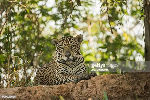 jaguar resting on bank of the pantal river - onça-pintada - fotografias e filmes do acervo