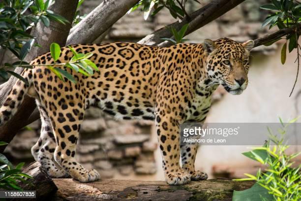 jaguar resting - jaguar stock pictures, royalty-free photos & images