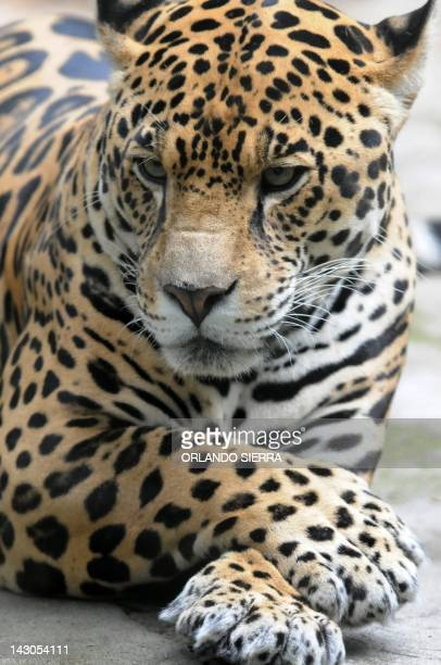 A jaguar rests at 'Rosy Walter' zoo on El Picacho hill in northern Tegucigalpa on April 18 2012 AFP PHOTO/Orlando SIERRA
