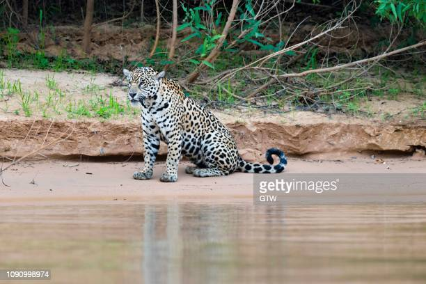 jaguar (panthera onca) sitting on a riverbank, cuiaba river, pantanal, mato grosso, brazil - cuiaba river stock pictures, royalty-free photos & images