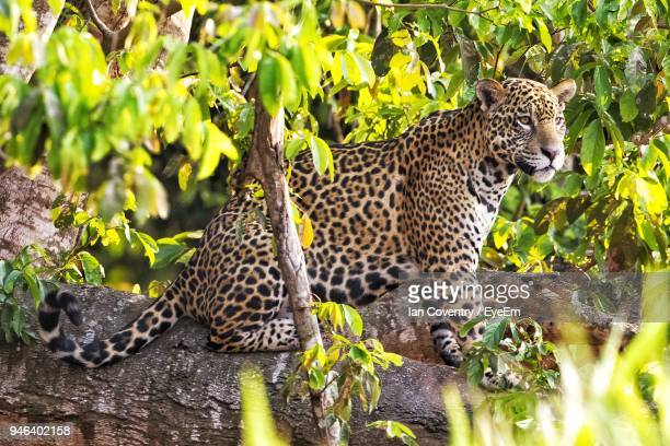 jaguar sitting on tree in forest - pantanal wetlands stock photos and pictures