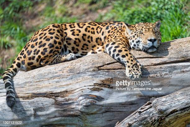 jaguar sleeping on a log - undomesticated cat stock pictures, royalty-free photos & images