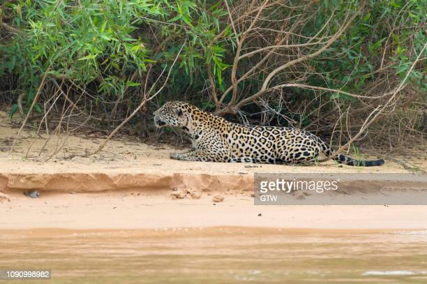 jaguar (panthera onca) stalking on shore, cuiaba river, pantanal, mato grosso, brazil - cuiaba river stock pictures, royalty-free photos & images