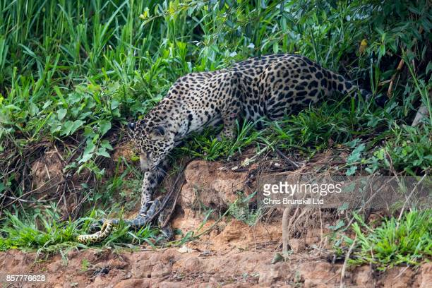 A jaguar stalks and kills a yellow anaconda on the Cuiaba River in the Pantanal in Mato Grosso Brazil The cat spotted the snake resting on the...