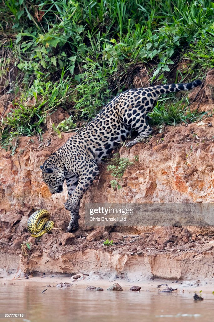A jaguar stalks and kills a yellow anaconda on the Cuiaba River in the Pantanal in Mato Grosso, Brazil. The cat spotted the snake resting on the riverbank and chased it into the shallow waters at the river's edge before struggling with it for over two minutes on the morning of the 29th of September, 2017. Anaconda kills by jaguars have only been observed on a handful of occasions and very few photographs of this incredibly rare behaviour are known to exist. Brunskill has spent a month observing the jaguars of the Brazilian Pantanal and last week his patience was rewarded when a jaguar captured a caiman.