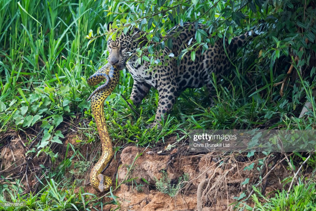 A Jaguar In The Brazilian Pantanal Hunts An Anaconda : News Photo