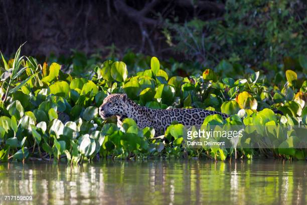 Jaguar (Panthera onca) standing among Water hyacinth (Eichhornia crassipes) by Rio Cuiaba in Pantanal, Mato Grosso, Brazil