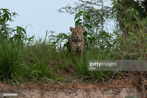 jaguar (panthera onca) standing in grass on the shore, cuiaba river, pantanal, mato grosso, brazil - cuiaba river stock pictures, royalty-free photos & images