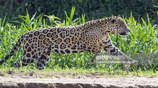 jaguar staring to run - jaguar stock pictures, royalty-free photos & images