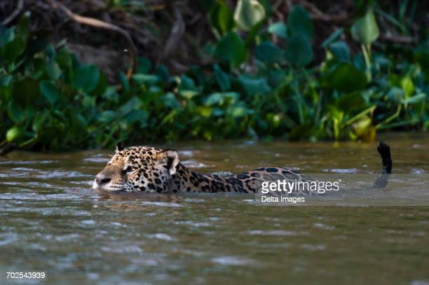 jaguar (panthera onca) swimming in cuiaba river, pantanal, mato grosso, brazil - cuiaba river stock pictures, royalty-free photos & images