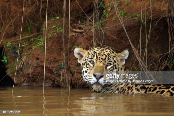 jaguar swimming in the waters of the pantanal, brazil - jaguar stock photos and pictures