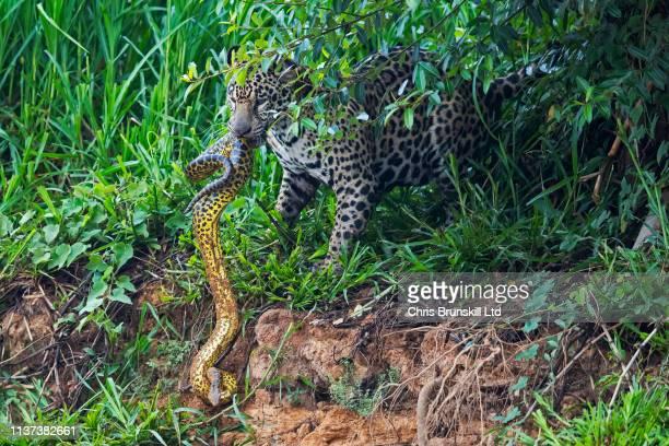 jaguar vs anaconda - anaconda snake stock pictures, royalty-free photos & images
