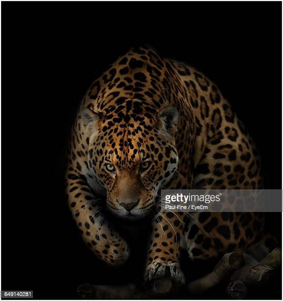 jaguar walking against black background - jaguar stock photos and pictures