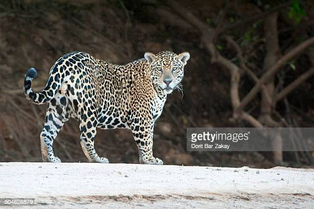 Jaguar walking on Cuiaba Riverbank