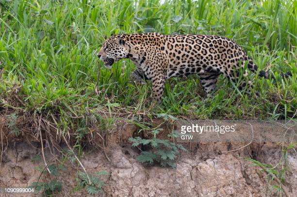 jaguar (panthera onca) walking on the shore, cuiaba river, pantanal, mato grosso, brazil - cuiaba river stock pictures, royalty-free photos & images
