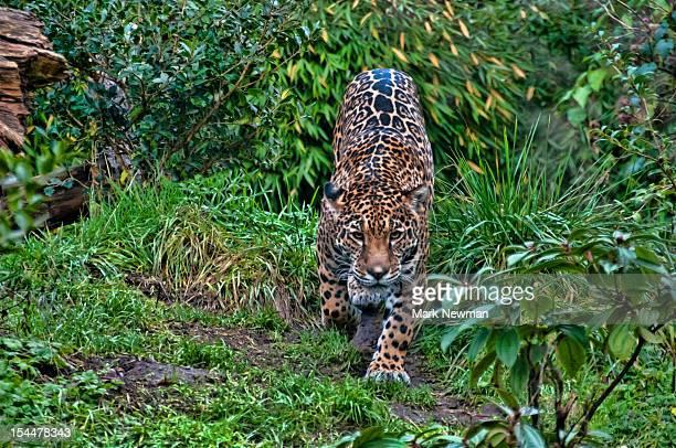 Jaguar (Panthera onca) walking toward camera