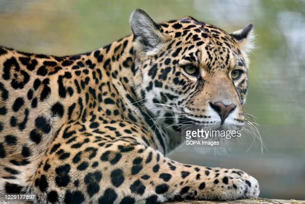 Jaguar watches from its enclosure at Paradise Wildlife Park in Broxbourne, Hertfordshire.