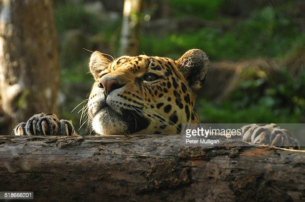 Jaguar with claws grasping a log