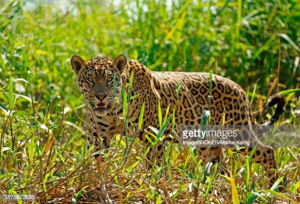 jaguar (panthera onca), with view into the camera, pantanal, mato grosso, brazil - pantanal wetlands stock photos and pictures