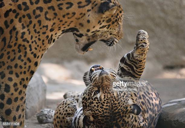 Jaguars play at the National Zoological Park on a hot summer day as Delhi/NCR experienced yet another scorching day on May 22 2016 in New Delhi India...
