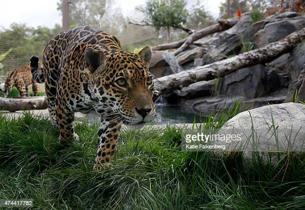 Jaguars walk through the new 7,100 square-foot habitat at the Los Angeles Zoo May 22, 2015 in Los Angeles, California. The new habitat will feature a...