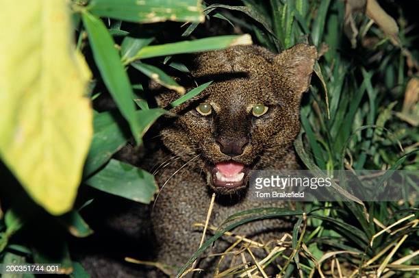 jaguarundi (felis yagouaroundi), close-up, central or south america - yaguarondi foto e immagini stock