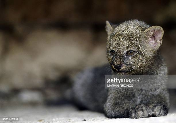 Jaguarundi cub is seen at the National Zoo of El Salvador in San Salvador, on October 09, 2015. Three-month cubs were recovered by the National Civil...