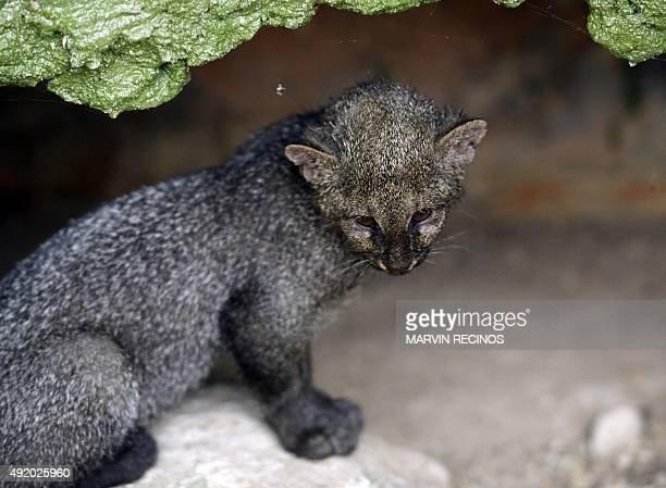 A jaguarundi cub is seen at the National Zoo of El Salvador in San Salvador on October 09 2015 Threemonth cubs were recovered by the National Civil...