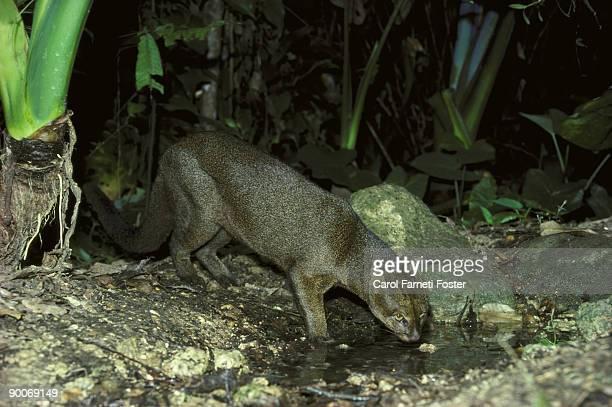 jaguarundi felis yaguaroundi belize central america - yaguarondi foto e immagini stock