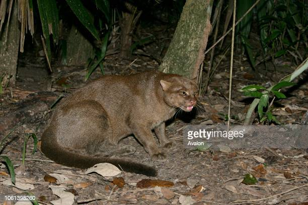 Jaguarundi in Belize