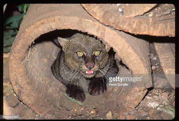 jaguarundi in hollow log - yaguarondi foto e immagini stock