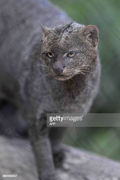 A Jaguarundi is seen in Guatemala´s largest zoo La Aurora in Guatemala City on Abril 20 2010 Numerous endangered species are held in captivity at La...