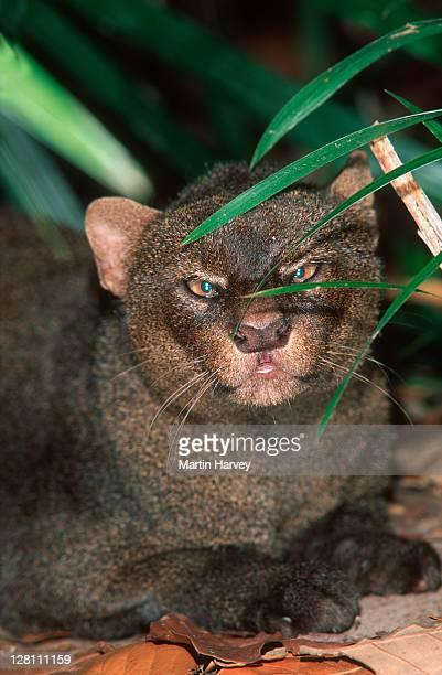 jaguarundi, puma yaguarondi. native to central & south america - yaguarondi foto e immagini stock