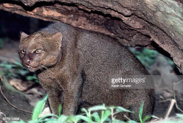 jaguarundi with ears back - yaguarondi foto e immagini stock