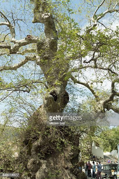 Jahre alte Platane in Krasi, Hersonissos, Kreta, einer der ältesten Bäume der Welt
