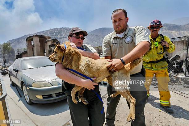 Jaime Jungle left and Chris Schreiner from San Bernardino County Animal Control carry one of two dogs hurt by Blue Cut Fire at burned out structure...