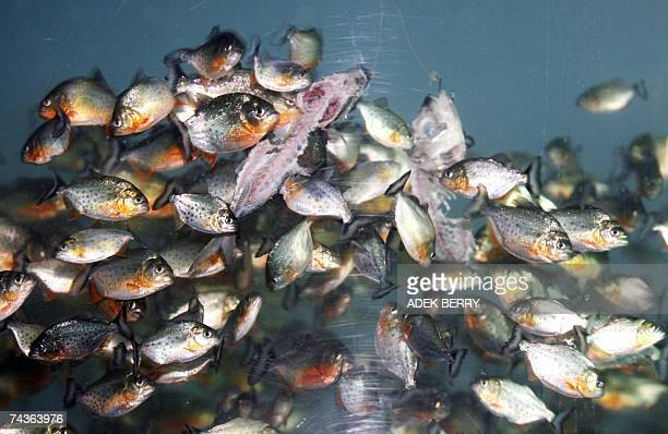 Piranhas eat fishe in side a tank at the Sea World amusement park in Jakarta 31 May 2007 The amusement park included three thousands piranhas in...