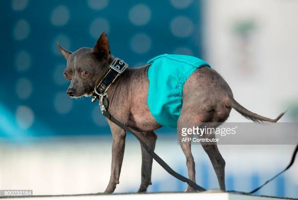 Jake a Chinese Crested wears a diaper to cover his permanent erection while being judged during The World's Ugliest Dog Competition in Petaluma...