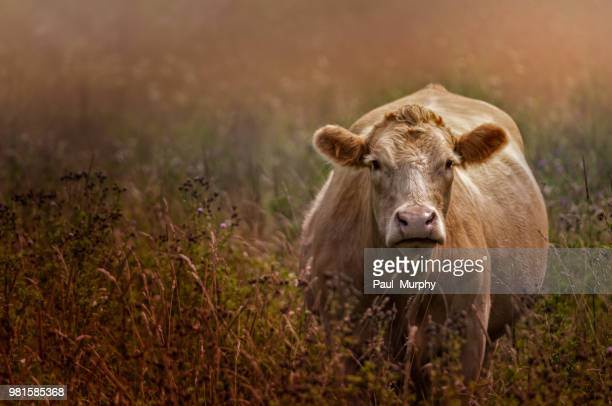 Jake Olson's Cow