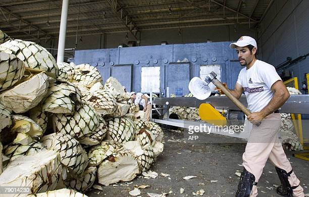 A Jalisco Colonial Distillery employee cuts blue Agave plants for the production of tequila in Arandas Mexico 11 January 2008 In the last 15 years...