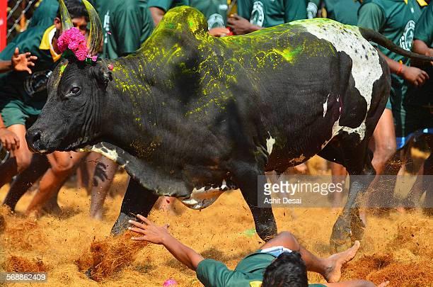 jallikattu, a bull taming ritual in tamil nadu - jallikattu bulls stock pictures, royalty-free photos & images