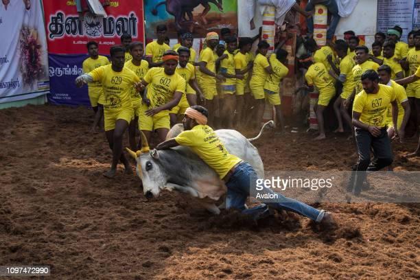 Jallikattu celebrated across Tamilnadu as part of the cultural celebration in Madurai India