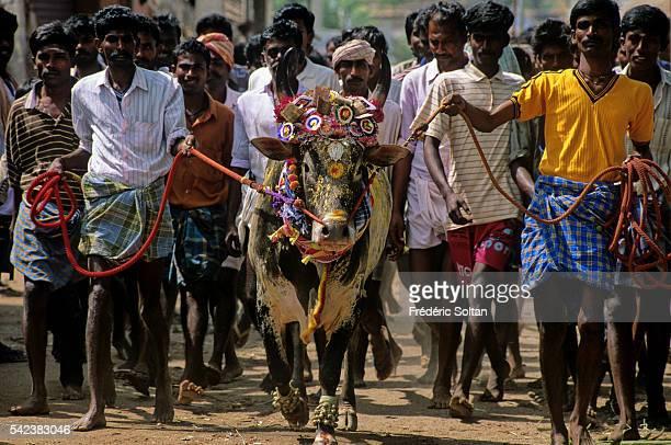 Jallikattu is a wild bull taming sport played in Tamil Nadu as a part of Pongal celebration | Location Near Madurai Tamil Nadu India