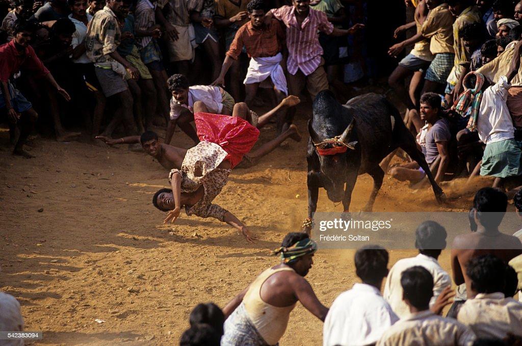 Jallikattu is a wild bull taming sport played in Tamil Nadu as a part of Pongal celebration (harvest festival). | Location: Near Madurai, Tamil Nadu, India.