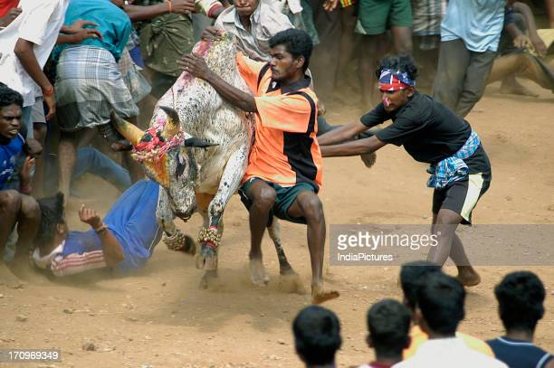 Jallikattu or bull taming Tamil harvest festival of Pongal Tamil Nadu India