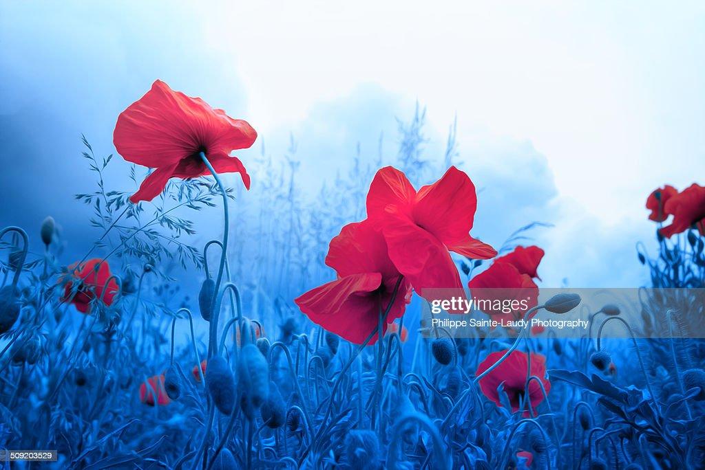 Jam for poppies : Stock Photo